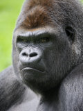 Male Silverback Western Lowland Gorilla Head Portrait, France Photographic Print by Eric Baccega