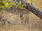 Bengal Tiger Scent Marking Tree, Ranthambhore Np, Rajasthan, India Photographic Print by T.j. Rich