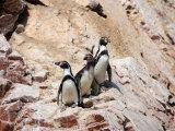 Humboldt Penguins on Isla Ballestas, Ballestas Islands, Peru Photographic Print by Eric Baccega