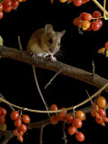 Wood Mouse on Blackthorn with Black Bryony Berries, UK Photographic Print by Andy Sands