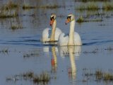 Two Mute Swan on Water, Hornborgasjon Lake, Sweden Photographic Print by Inaki Relanzon