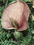 Arum Flower Menorca, Balearis Islands, Endemic, April Photographic Print by Inaki Relanzon