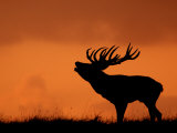 Silhouette of Red Deer Stag Calling at Sunset, Dyrehaven, Denmark Photo by Edwin Giesbers