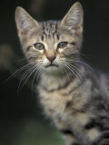 European Brown Tabby Kitten, Portrait Photographic Print by Adriano Bacchella