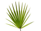 Palmito Dwarf Fan Palm Spain Photographic Print by Niall Benvie