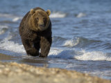 Brown Bear Beside Water, Kronotsky Nature Reserve, Kamchatka, Far East Russia Photographic Print by Igor Shpilenok