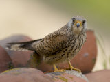 Lesser Kestrel Female on Roof Tiles, South Spain Photographic Print by Inaki Relanzon