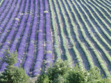 Field of Lavander Flowers Ready for Harvest and Harvested, Valensole, Provence, France, June 2004 Photographic Print by Inaki Relanzon