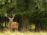 Red Deer Stag, Dyrehaven, Denmark Photographic Print by Edwin Giesbers