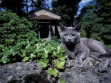 Russian Blue Cat Sunning on Stone Wall in Garden, Italy Photographic Print by Adriano Bacchella