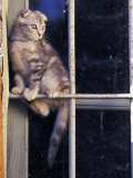 Scottish Fold Cat Balanced on Window Bar, Italy Photographic Print by Adriano Bacchella