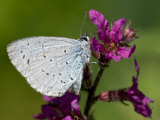 Holly Blue Butterfly Wings Closed, Feeding on Purple Loosestrife, West Sussex, England, UK Photographic Print by Andy Sands