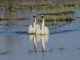 Two Mute Swans on Water, Hornborgasjon Lake, Sweden Photographic Print by Inaki Relanzon