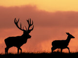 Silhouette of Red Deer Stag and Doe at Sunset, Dyrehaven, Denmark Photographic Print by Edwin Giesbers