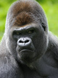 Head Portrait of Male Silverback Western Lowland Gorilla Captive, France Posters by Eric Baccega