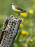 Yellow Wagtail Female Perched on Old Fence Post, Upper Teesdale, Co Durham, England, UK Photographic Print by Andy Sands