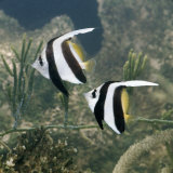 Longfin Bannerfish Wimplefish Pennant Coralfish Captive, from Indo-Pacific Photographic Print by Jane Burton