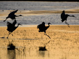 Sandhill Cranes Flying, Bosque Del Apache National Wildlife Refuge, New Mexico, USA Posters by Mark Carwardine