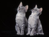 Two Egyptian Mau Kittens Looking Up Photo by Adriano Bacchella
