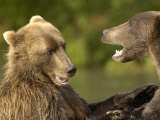 Brown Bears Fighting, Kronotsky Nature Reserve, Kamchatka, Far East Russia Photographic Print by Igor Shpilenok