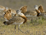 Geat Bustard Flock, Extremadura, South Spain Photo by Inaki Relanzon