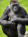 Western Lowland Gorilla Mother Holding Baby. Captive, France Photographic Print by Eric Baccega