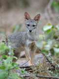 Sechuran Fox Chaparri Ecological Reserve, Peru, South America Photographic Print by Eric Baccega