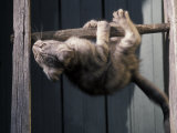 Scottish Fold Cat Hanging Upside-Down from Ladder Rung, Italy Photographic Print by Adriano Bacchella