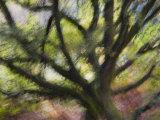 Impression of English Pedunculate Oak Scotland, UK, 2007 Photographic Print by Niall Benvie
