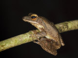 Four-Lined File Eared Tree Frog in Rainforest, Sukau, Sabah, Borneo Posters by Tony Heald