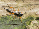 Ichneumen Wasp on Dead Log, Hertfordshire, England, UK Posters by Andy Sands