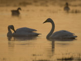 Whooper Swan and Mute Swan, Hornborgasjon Lake, Sweden Photographic Print by Inaki Relanzon