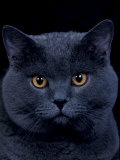 American Shorthair Cat, Portrait Photographic Print by Adriano Bacchella