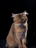 Somali Cat, Sitting Portrait Photographic Print by Adriano Bacchella