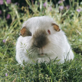 Himalayan Guinea Pig, Male Photographic Print by Jane Burton