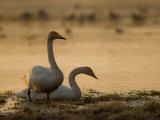 Two Whooper Swans, Hornborgasjon Lake, Sweden Photographic Print by Inaki Relanzon