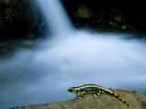 European Salamander on Rock in Stream, Pyrenees, Navarra Region, Spain Photographic Print by Inaki Relanzon