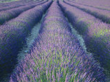 Fields of Lavander Flowers Ready for Harvest, Sault, Provence, France, June 2004 Photographic Print by Inaki Relanzon