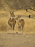 Chital Spotted Deer Mother and Young, Ranthambhore Np, Rajasthan, India Photographic Print by T.j. Rich