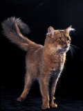Somali Cat, Standing Portrait Photographic Print by Adriano Bacchella