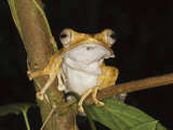 Bornean Eared File-Eared Tree Frog Danum Valley, Sabah, Borneo Posters by Tony Heald