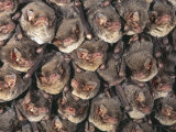 Close Up of Colony of Schreiber's Long Fingered Bat Roosting in Cave, France Photographic Print by Inaki Relanzon