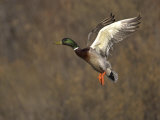 Mallard Drake Flying, Bosque Del Apache National Wildlife Refuge, New Mexico, USA Posters by Mark Carwardine