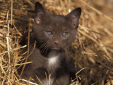 Grey Kitten in Haystack, Italy Photographic Print by Adriano Bacchella