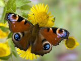 Peacock Butterfly on Fleabane Flowers, Hertfordshire, England, UK Fotografisk tryk af Andy Sands