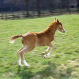Domestic Horse, Chestnut British Show Pony Colt Foal Leaping Away, UK Photographic Print by Jane Burton