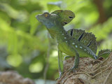 Double Crested Basilisk Basilisk Lizard, Tortuguero National Park, Costa Rica Photographic Print by Edwin Giesbers