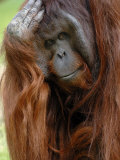 Male Orang-Utan with Head on Hand. Native to Borneo. Captive, France Photographic Print by Eric Baccega