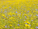 Summer Wildflower Meadow with Corn Marigold and Cornflower Uk, July Photo by Gary Smith