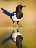 Magpie Coming to Drink at a Pool, Alicante, Spain Photographic Print by Niall Benvie